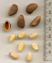Pinenut