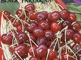 Tartarian cherry