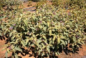 BushTomatoes