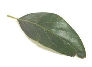 AvocadoLeaves
