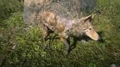 Räudiger California-Valley-Kojote