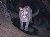 Weißer Puma