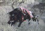 Zombie Wildschwein
