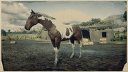American Paint Tobiano 2