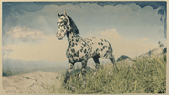 Appaloosa Tigerschecke 1