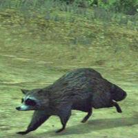 Raccoon-at-night