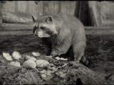 Raccoon (RDR II)