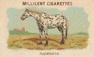 Horses Card Appaloosa