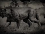 Cougar (RDR II)