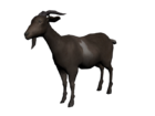 Cabra comun3