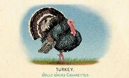 Fauna of America Turkey