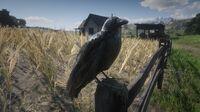 American Crow at Guthrie Farm