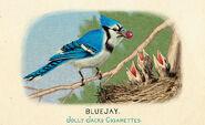 Fauna of America Bluebird