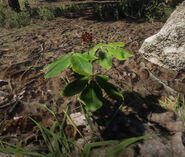 American Ginseng in game rdr2