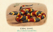 Fauna of America Coral Snake