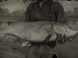 Legendary Channel Catfish