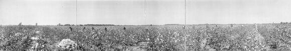 Cottonfieldpanorama