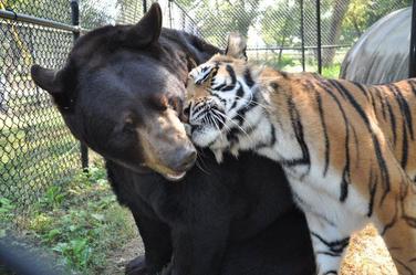 Oso y tigre
