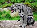 -Maltese Tiger.jpg
