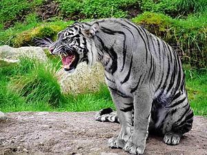 -Maltese Tiger