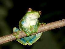 Malayan-flying-frog 9572