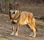 Lobo rojo canadiemse