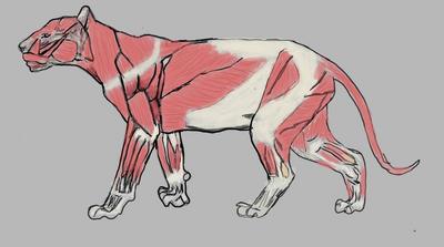 Musculos de un tigre
