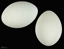 220px-Ardea alba melanorhynchos MHNT.ZOO.2010.11.52.1