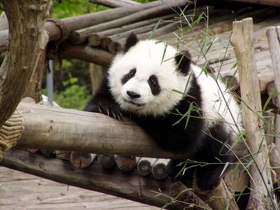 Oso panda 5