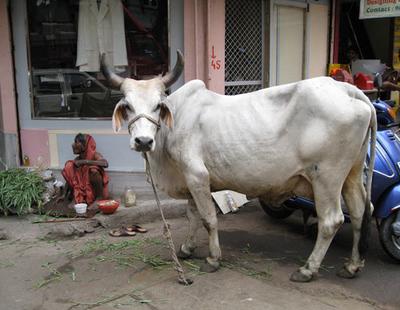 Vaca 13