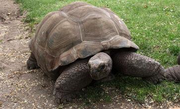Aldabrachelys gigantea2