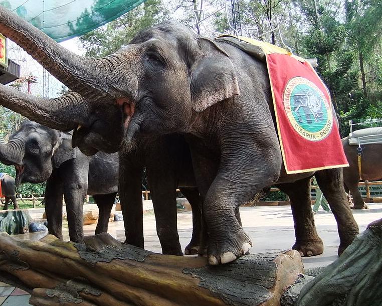 Resultado de imagem para elefante de sumatra