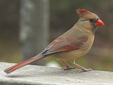 Northern Cardinal Female-27527