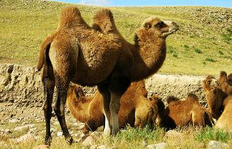 Que-come-el-camello-bactriano