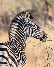 220px-Cebra de Burchell (Equus quagga burchellii), parque nacional Kruger, Sudáfrica, 2018-07-26, DD 10