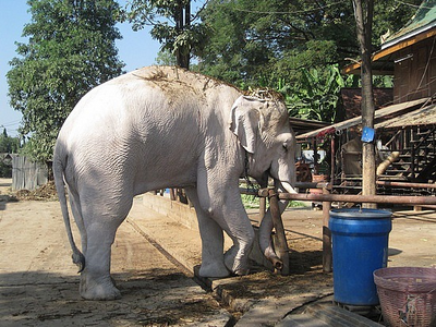 Elefante asiatico 11