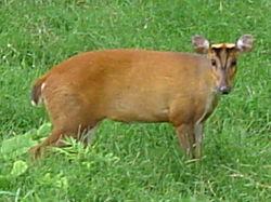 250px-Muntjac deer