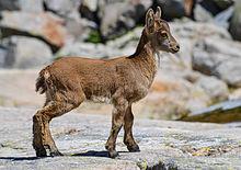 Capra pyrenaica victoriae, juvenile -- 2013 -- Laguna Grande, Sierra de Gredos, España