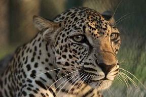 Leopardo arabe 5