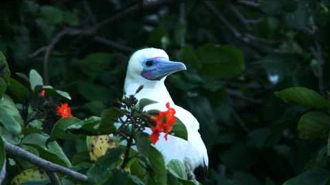 Half Moon Caye - Red-footed Booby Colony