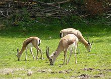 220px-Gazella dorcas