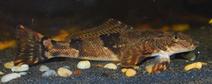 250px-Torrentfish