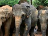 Elefante de Sri Lanka