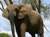 Elefántidos