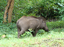 PeterMaas-India-MudumalaiNationalPark-WildBoar