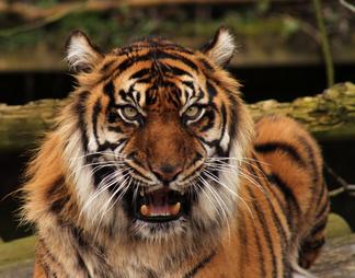 Tigre de sumatra 2