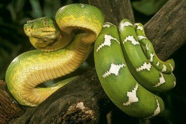Emerald-tree-boa-corallus-caninus-s-american-6123717