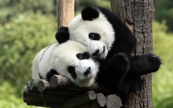 Oso panda 4