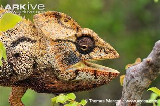 Oustalets-chameleon-mouth-open