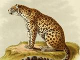 Leopardo Europeo